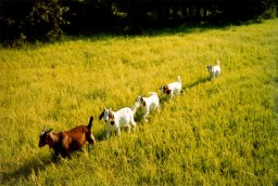 Highlight for Album: Five Wells Farm: Goats